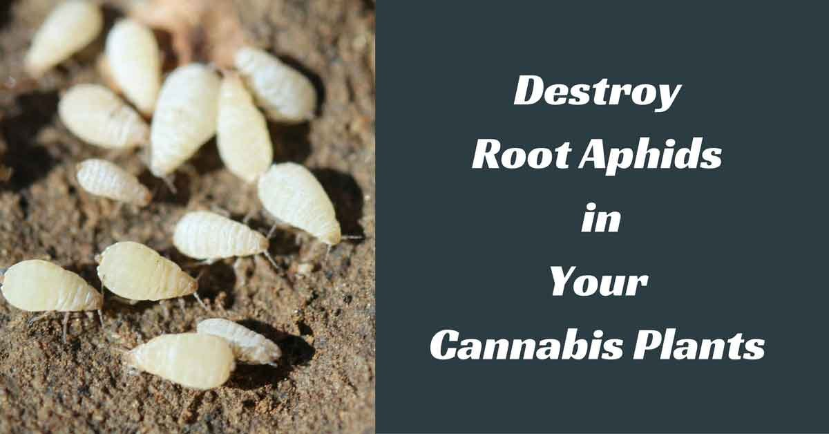 kill-root-aphids