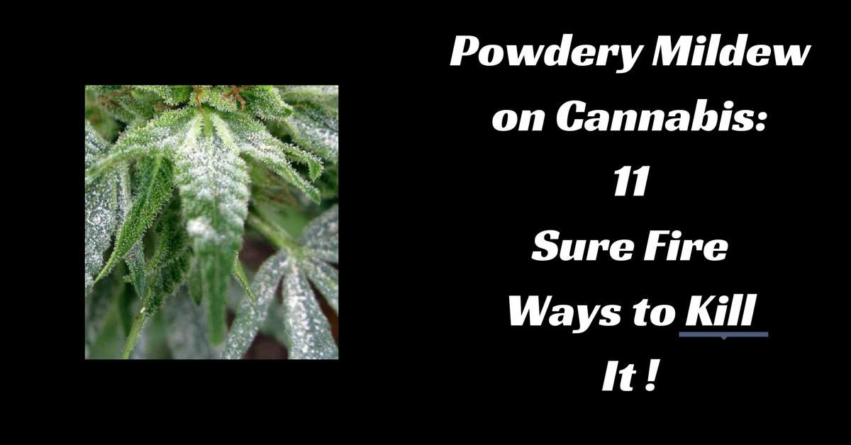 powdery mildew on marijuna