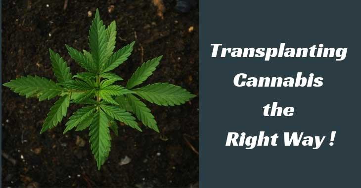 transplanting-cannabis-plants-clones-seedlings
