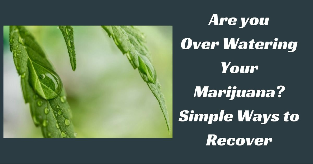 Over water your marijuana feature image