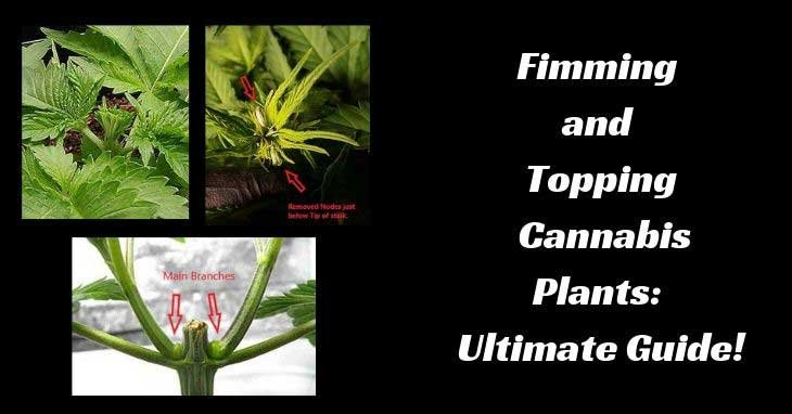 Fimming-and-Topping-Cannabis-Plants
