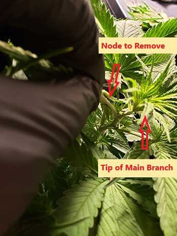 how-to-ice-your-cannabis-plants