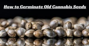 How to germinate old cannabis seeds