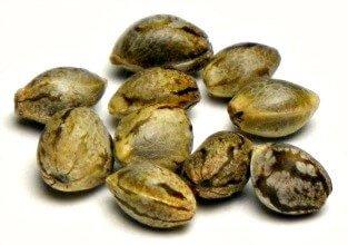 germinate old cannabis seeds